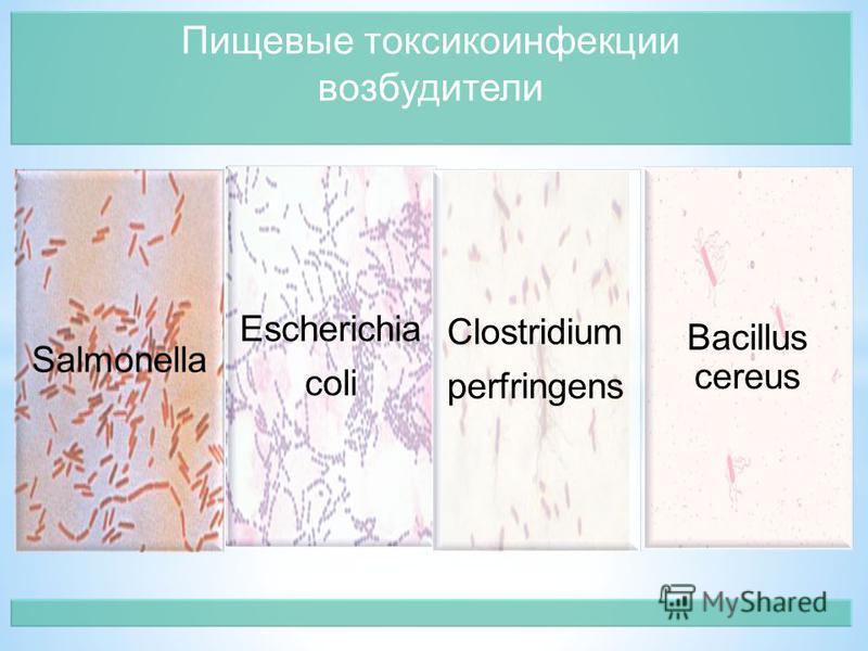 Bacillus cereus Пищевые токсикоинфекции возбудители Escherichia coli Clostridium perfringens