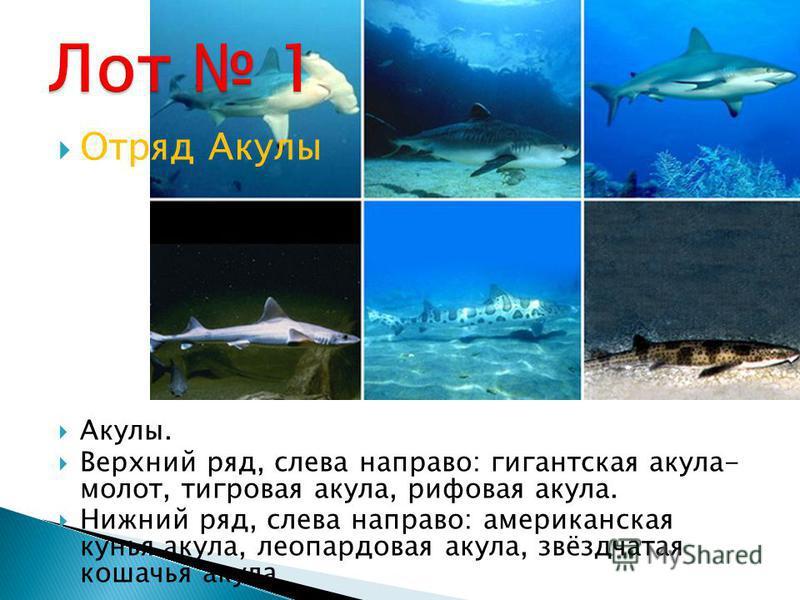 Отряд Акулы Акулы. Верхний ряд, слева направо: гигантская акула- молот, тигровая акула, рифовая акула. Нижний ряд, слева направо: американская кунья акула, леопардовая акула, звёздчатая кошачья акула