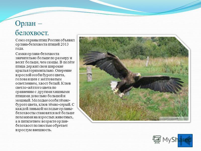 Орлан – белохвост. Союз охраны птиц России объявил орлана-белохвоста птицей 2013 года. Самки орлана-белохвоста значительно больше по размеру и весят больше, чем самцы. В полёте птица держит свои широкие крылья горизонтально. Оперение взрослой особи б