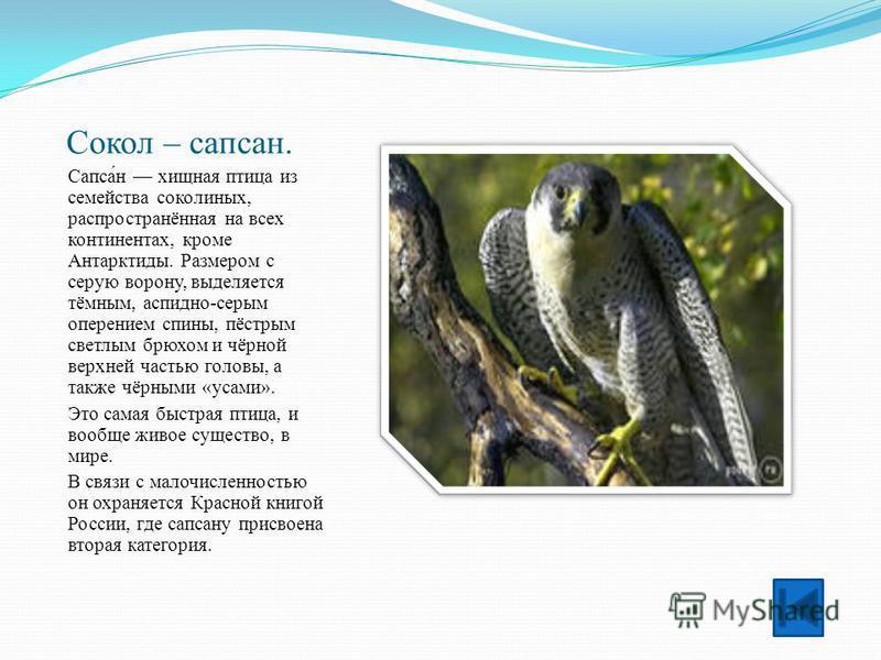 Сокол – сапсан. Сапса́н хищная птица из семейства соколиных, распространённая на всех континентах, кроме Антарктиды. Размером с серую ворону, выделяется тёмным, аспидно-серым оперением спины, пёстрым светлым брюхом и чёрной верхней частью головы, а т