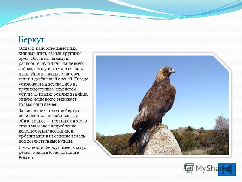 Беркут. Одна из наиболее известных хищных птиц, самый крупный орел. Охотится на самую разнообразную дичь, чаще всего зайцев, грызунов и многие виды птиц. Иногда нападает на овец, телят и детёнышей оленей. Гнездо устраивает на дереве либо на труднодос