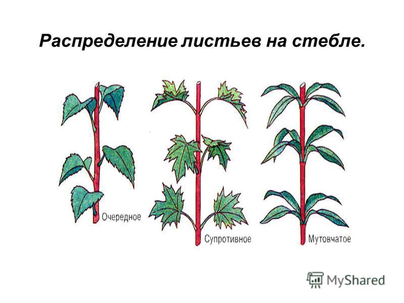 Распределение листьев на стебле.