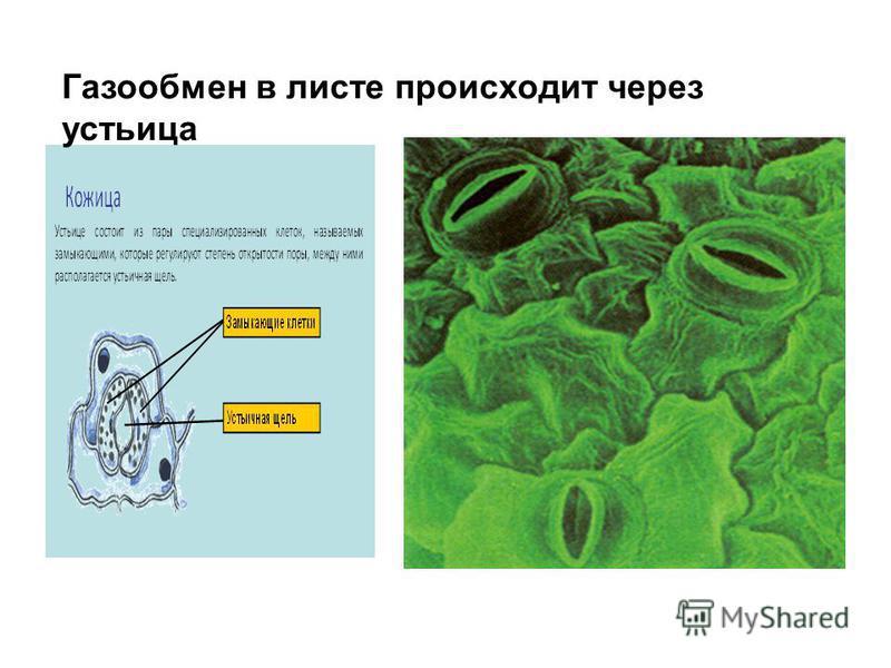 Газообмен в листе происходит через устьица