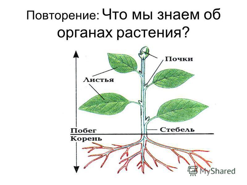 Повторение: Что мы знаем об органах растения?