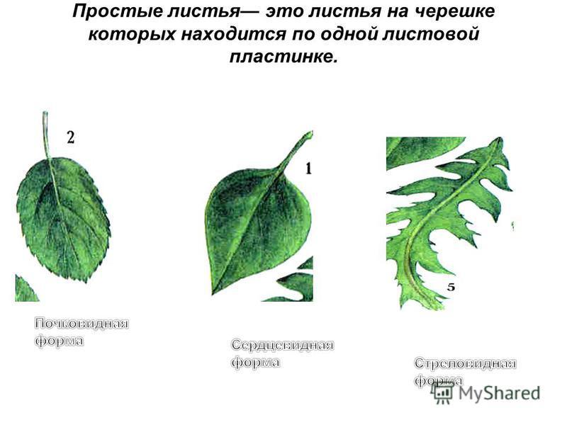 Простые листья это листья на черешке которых находится по одной листовой пластинке.