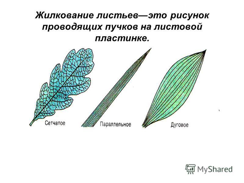 Жилкование листьев это рисунок проводящих пучков на листовой пластинке.