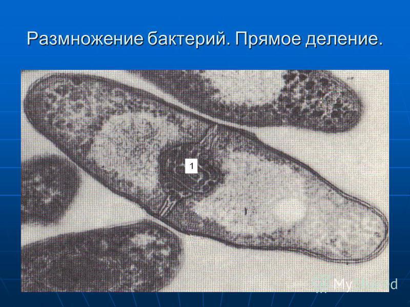 Размножение бактерий. Прямое деление.