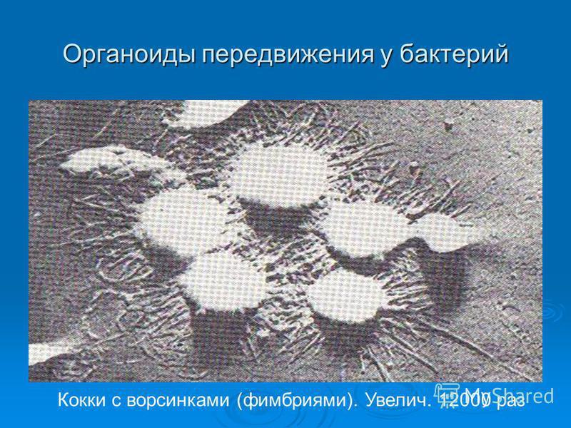 Органоиды передвижения у бактерий Кокки с ворсинками (фимбриями). Увелич. 12000 раз