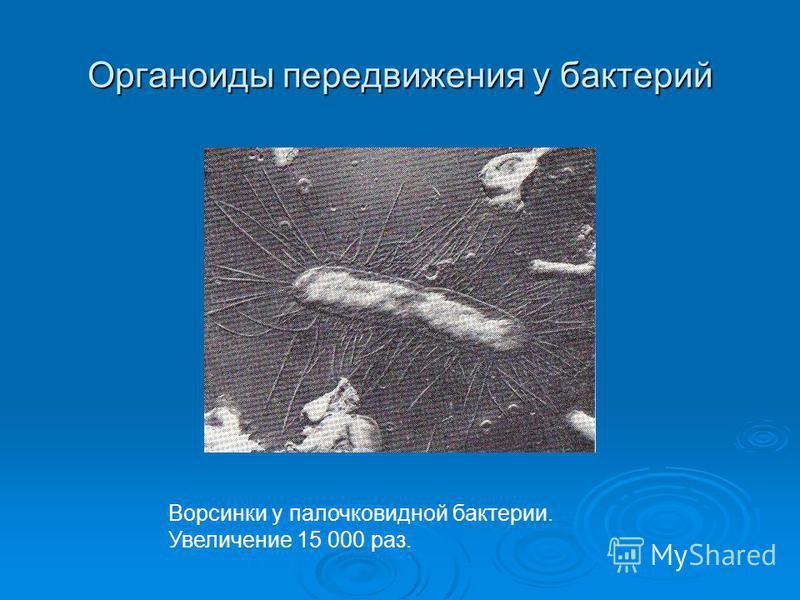 Органоиды передвижения у бактерий Ворсинки у палочковидной бактерии. Увеличение 15 000 раз.