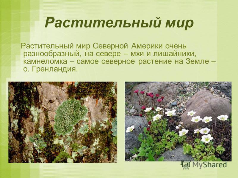 Растительный мир Растительный мир Северной Америки очень разнообразный, на севере – мхи и лишайники, камнеломка – самое северное растение на Земле – о. Гренландия.