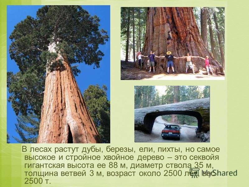 В лесах растут дубы, березы, ели, пихты, но самое высокое и стройное хвойное дерево – это секвойя гигантская высота ее 88 м, диаметр ствола 35 м, толщина ветвей 3 м, возраст около 2500 лет, вес 2500 т.