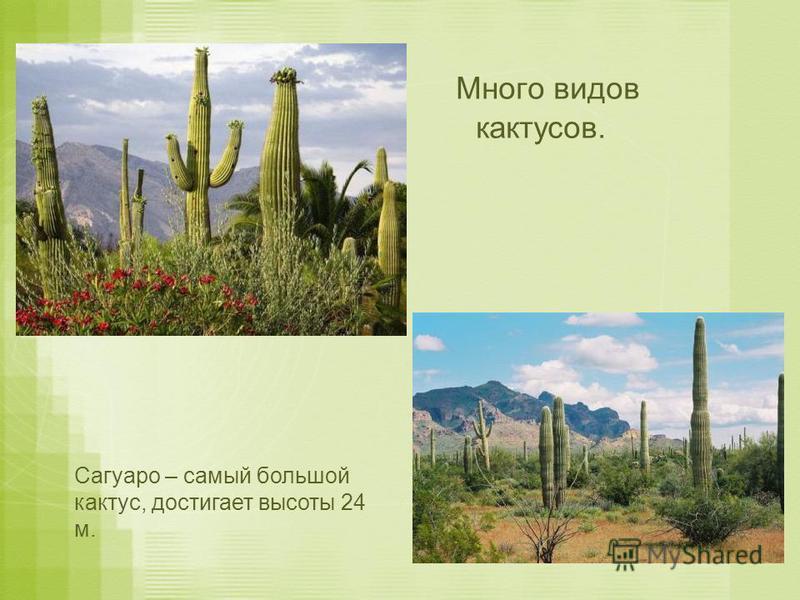 Много видов кактусов. Сагуаро – самый большой кактус, достигает высоты 24 м.