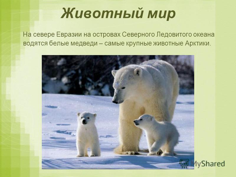 Животный мир На севере Евразии на островах Северного Ледовитого океана водятся белые медведи – самые крупные животные Арктики.