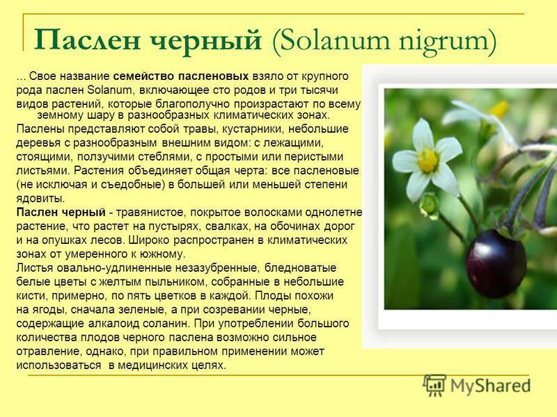 Паслен черный (Solanum nigrum)... Свое название семейство пасленовых взяло от крупного рода паслен Solanum, включающее сто родов и три тысячи видов растений, которые благополучно произрастают по всему земному шару в разнообразных климатических зонах.