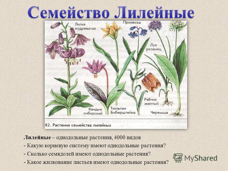 Лилейные – однодольные растения, 4000 видов - Какую корневую систему имеют однодольные растения? - Сколько семядолей имеют однодольные растения? - Какое жилкование листьев имеют однодольные растения?