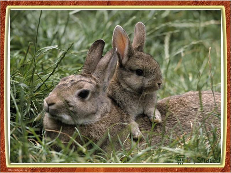 капля воды - тело Новорожденные зайчата похожи на пушистые комочки и весят около 150 граммов. Их глаза открыты, и они способны передвигаться сразу после рождения. Детеныши зайцев не обладают запахом, поэтому их трудно обнаружить. Сразу же после рожде