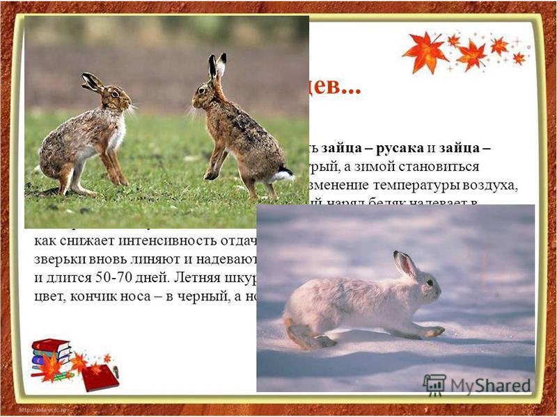 В средней полосе России можно встретить зайца – русака и зайца – беляка. Летом заяц – беляк рыжевато-бурый, а зимой становиться белым. Сигналом к смене цвета служит изменение температуры воздуха, сокращение светового дня. Полный зимний наряд беляк на