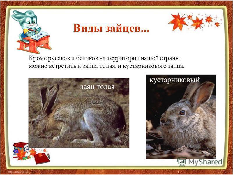 Кроме русаков и беляков на территории нашей страны можно встретить и зайца толая, и кустарникового зайца. Виды зайцев... заяц толая кустарниковый