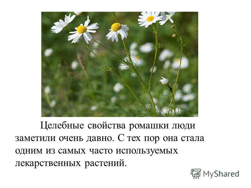 Целебные свойства ромашки люди заметили очень давно. С тех пор она стала одним из самых часто используемых лекарственных растений.