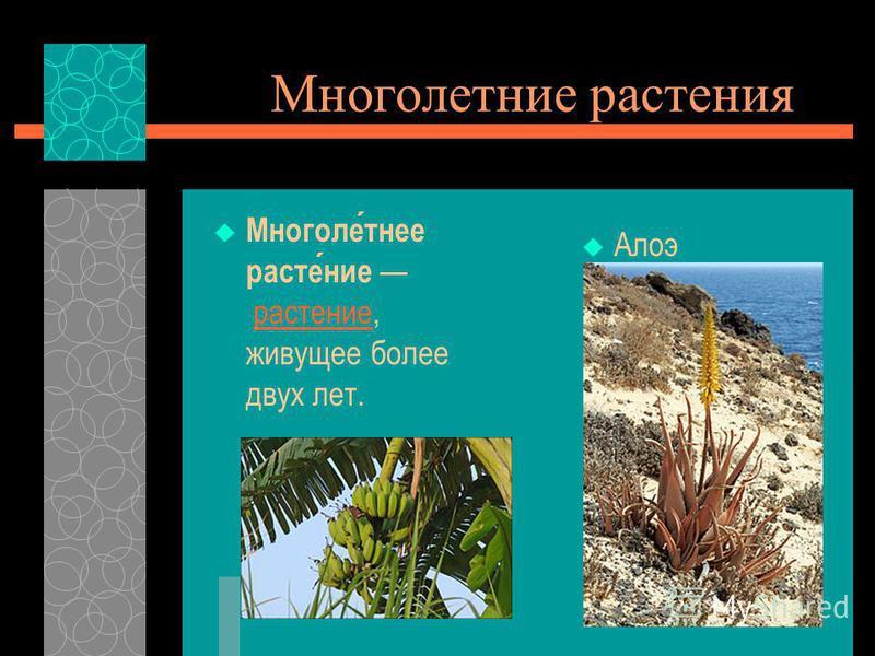 Многолетние растения Многолетнее растение растение, живущее более двух лет.растение Алоэ