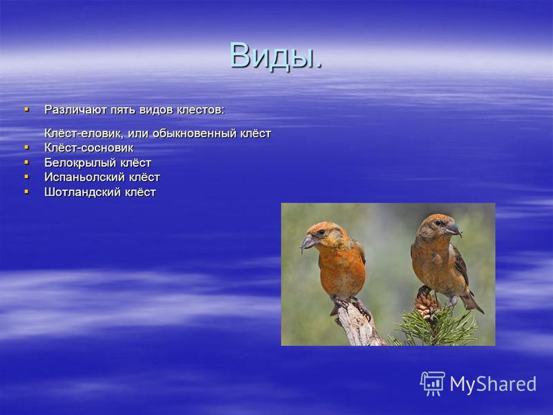Виды. Различают пять видов клеййййстов: Клёст-еловик, или обыкновенный клёст Различают пять видов клеййййстов: Клёст-еловик, или обыкновенный клёст Клёст-сосновик Клёст-сосновик Белокрылый клёст Белокрылый клёст Испаньолский клёст Испаньолский клёст