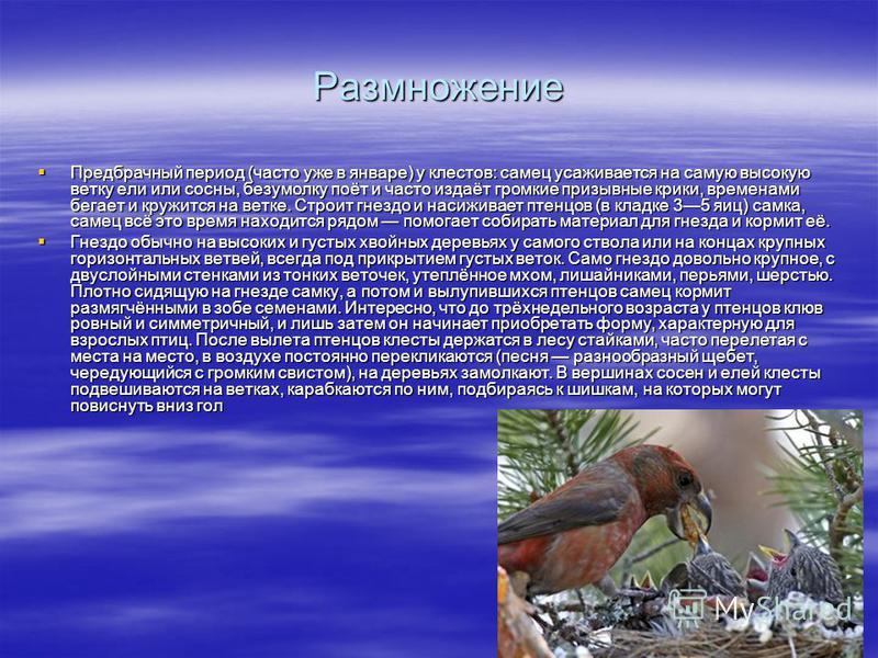 Размножение Предбрачный период (часто уже в январе) у клеййййстов: самец усаживается на самую высокую ветку ели или сосны, без умолку поёт и часто издаёт громкие призывные крики, временами бегает и кружится на ветке. Строит гнездо и насиживает птенцо