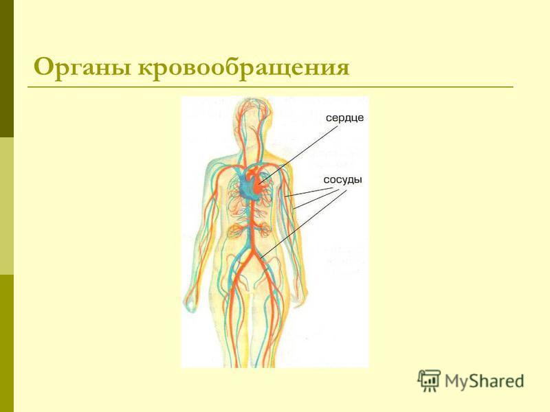 Органы кровообращения