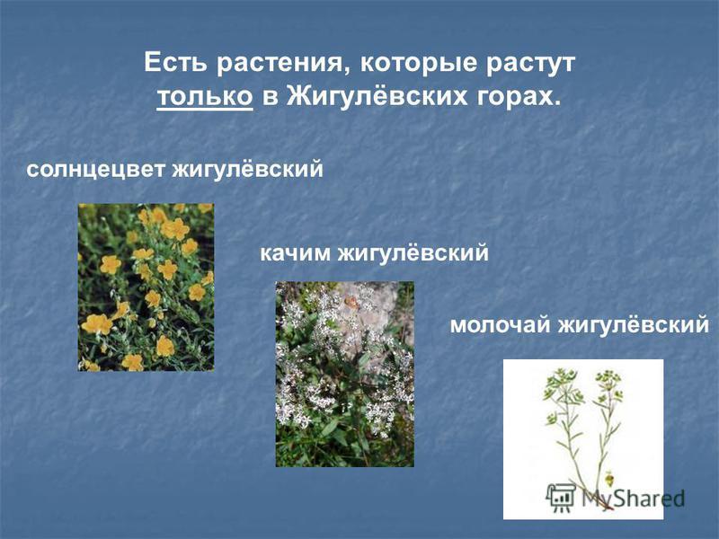 Есть растения, которые растут только в Жигулёвских горах. солнцецвет жигулёвский качим жигулёвский молочай жигулёвский