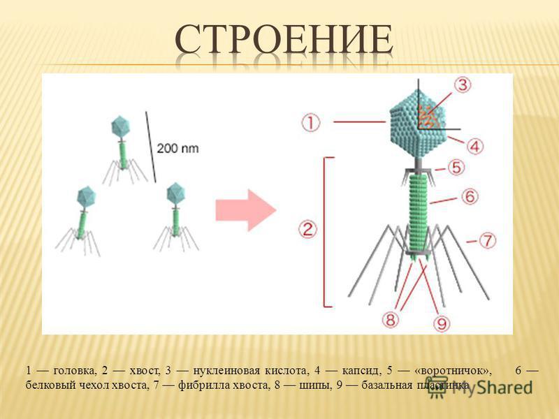 1 головка, 2 хвост, 3 нуклеиновая кислота, 4 капсид, 5 «воротничок», 6 белковый чехол хвоста, 7 фибрилла хвоста, 8 шипы, 9 базальная пластинка