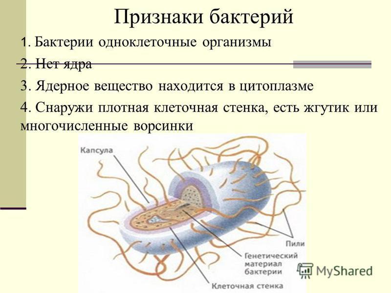 Признаки бактерий 1. Бактерии одноклеточные организмы 2. Нет ядра 3. Ядерное вещество находится в цитоплазме 4. Снаружи плотная клеточная стенка, есть жгутик или многочисленные ворсинки