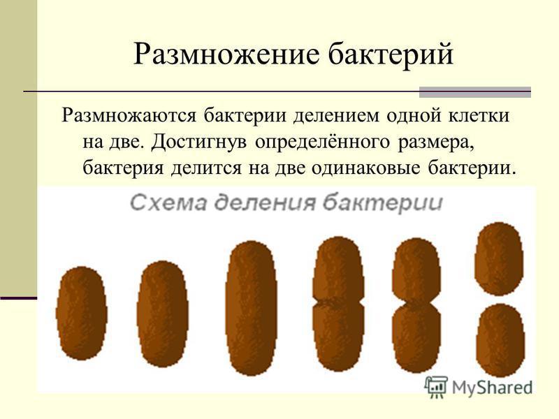 Размножение бактерий Размножаются бактерии делением одной клетки на две. Достигнув определённого размера, бактерия делится на две одинаковые бактерии.