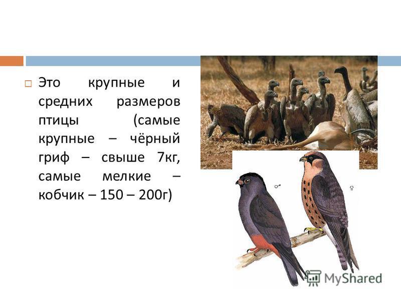 Это крупные и средних размеров птицы ( самые крупные – чёрный гриф – свыше 7 кг, самые мелкие – кобчик – 150 – 200 г )