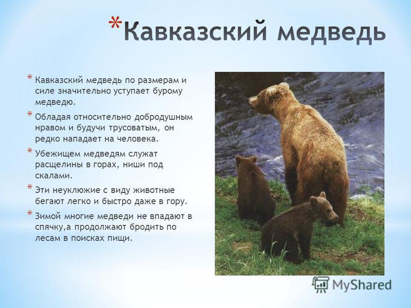 * Кавказский медведь по размерам и силе значительно уступает бурому медведю. * Обладая относительно добродушным нравом и будучи трусоватым, он редко нападает на человека. * Убежищем медведям служат расщелины в горах, ниши под скалами. * Эти неуклюжие