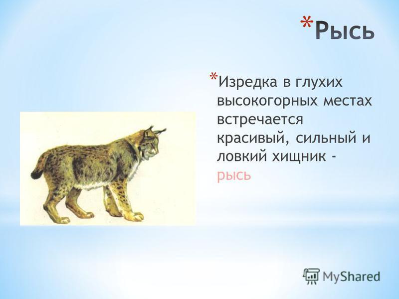 *И*И зредка в глухих высокогорных местах встречается красивый, сильный и ловкий хищник - рысь