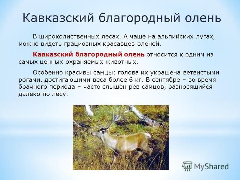 Кавказский благородный олень В широколиственных лесах. А чаще на альпийских лугах, можно видеть грациозных красавцев оленей. Кавказский благородный олень относится к одним из самых ценных охраняемых животных. Особенно красивы самцы: голова их украшен