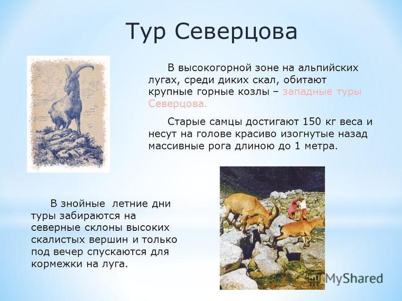 Тур Северцова В высокогорной зоне на альпийских лугах, среди диких скал, обитают крупные горные козлы – западные туры Северцова. Старые самцы достигают 150 кг веса и несут на голове красиво изогнутые назад массивные рога длиною до 1 метра. В знойные