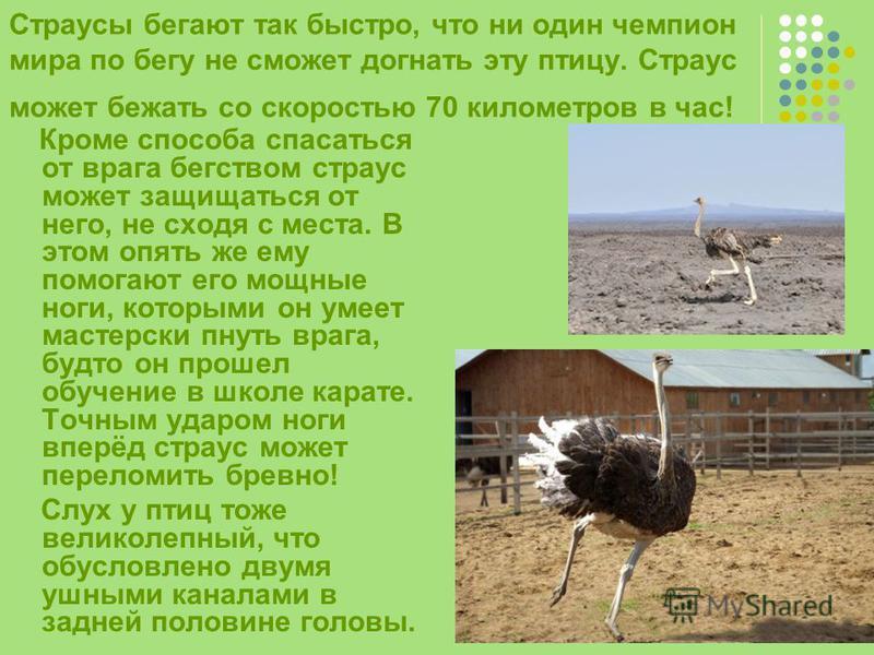 Страусы бегают так быстро, что ни один чемпион мира по бегу не сможет догнать эту птицу. Страус может бежать со скоростью 70 километров в час! Кроме способа спасаться от врага бегством страус может защищаться от него, не сходя с места. В этом опять ж