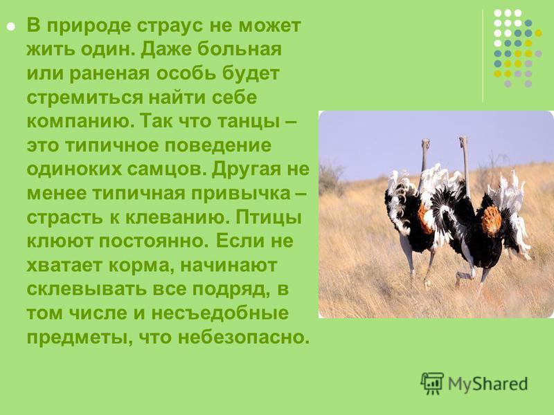 В природе страус не может жить один. Даже больная или раненая особь будет стремиться найти себе компанию. Так что танцы – это типичное поведение одиноких самцов. Другая не менее типичная привычка – страсть к клеванию. Птицы клюют постоянно. Если не х