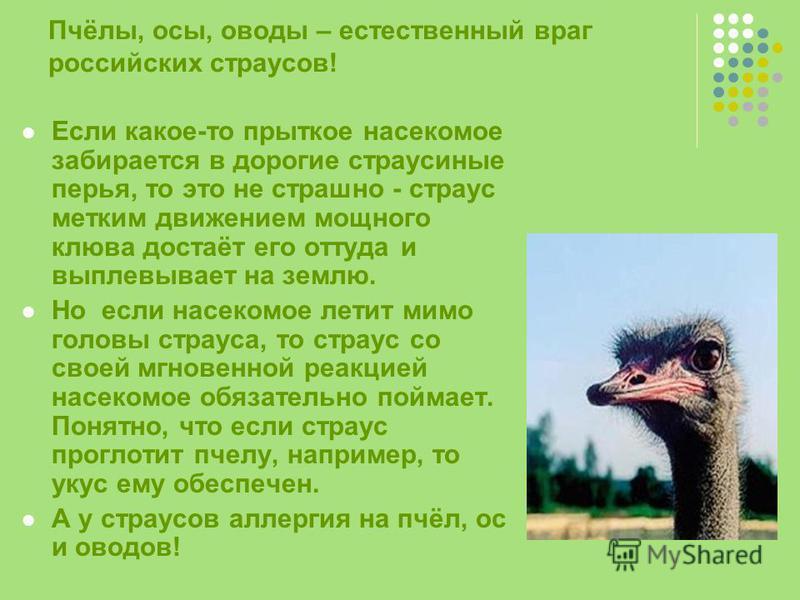 Пчёлы, осы, оводы – естественный враг российских страусов! Если какое-то прыткое насекомое забирается в дорогие страусиные перья, то это не страшно - страус метким движением мощного клюва достаёт его оттуда и выплевывает на землю. Но если насекомое л