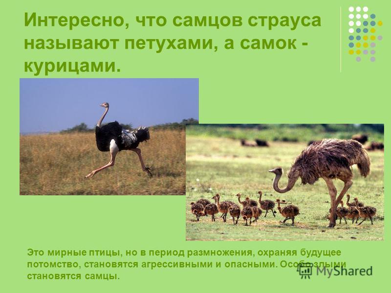 Интересно, что самцов страуса называют петухами, а самок - курицами. Это мирные птицы, но в период размножения, охраняя будущее потомство, становятся агрессивными и опасными. Особо злыми становятся самцы.