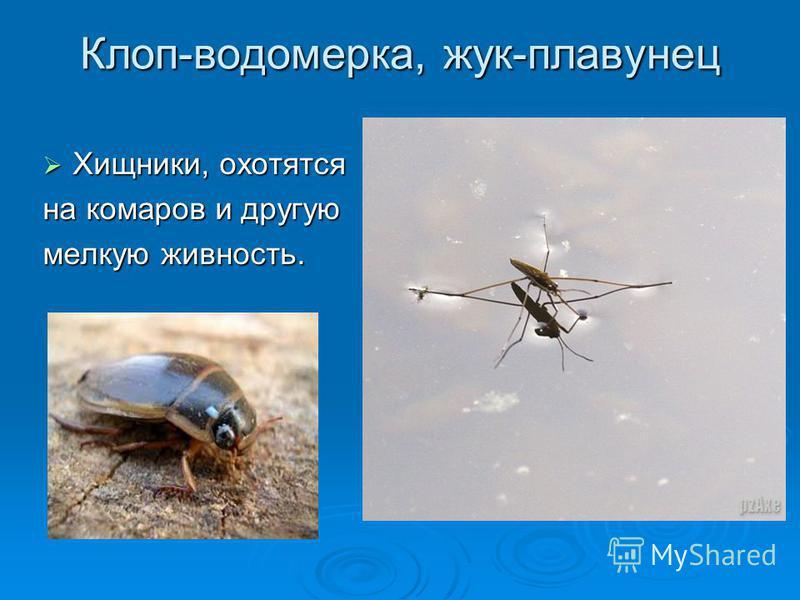 Клоп-водомерка, жук-плавунец Хищники, охотятся Хищники, охотятся на комаров и другую мелкую живность.