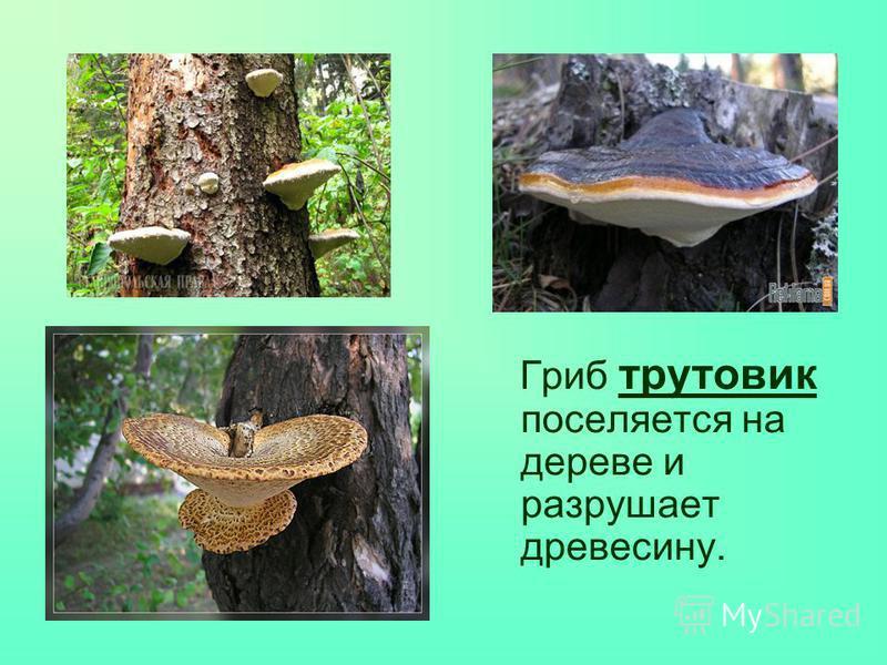 Гриб трутовик поселяется на дереве и разрушает древесину.