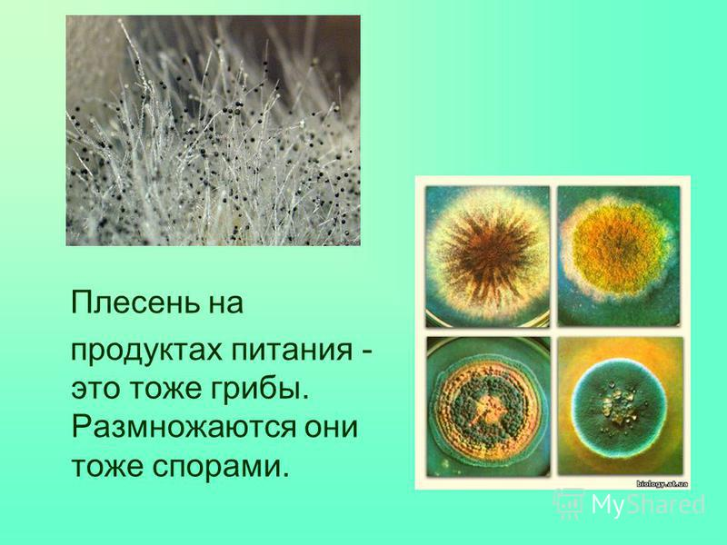 Плесень на продуктах питания - это тоже грибы. Размножаются они тоже спорами.