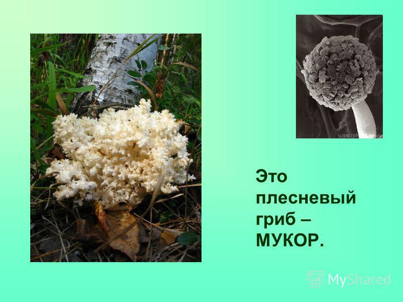 Это плесневый гриб – МУКОР.