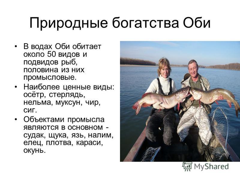 Природные богатства Оби В водах Оби обитает около 50 видов и подвидов рыб, половина из них промысловые. Наиболее ценные виды: осётр, стерлядь, нельма, муксун, чир, сиг. Объектами промысла являются в основном - судак, щука, язь, налим, елец, плотва, к