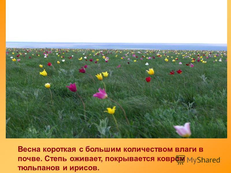 Весна короткая с большим количеством влаги в почве. Степь оживает, покрывается ковром тюльпанов и ирисов.