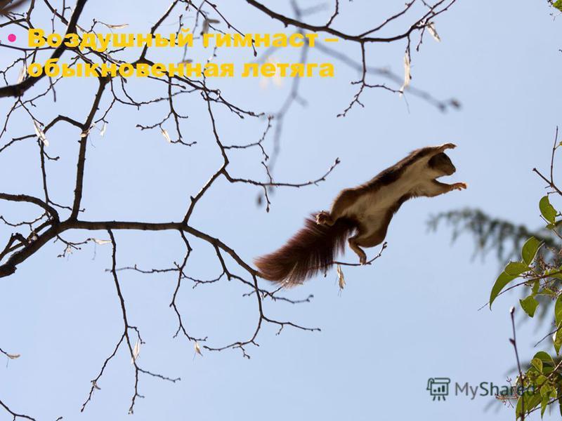 Воздушный гимнаст – обыкновенная летяга