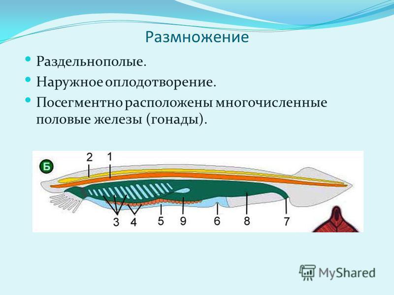Размножение Раздельнополые. Наружное оплодотворение. Посегментно расположены многочисленные половые железы (гонады).