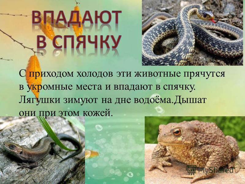 С приходом холодов эти животные прячутся в укромные места и впадают в спячку. Лягушки зимуют на дне водоёма.Дышат они при этом кожей.