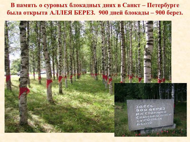 900 дней блокады – 900 берёз. В память о суровых блокадных днях в Санкт – Петербурге была открыта АЛЛЕЯ БЕРЕЗ. 900 дней блокады – 900 берез.